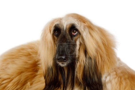 Photo for Portrait of a purebred red haired Afghan Greyhound dog in studio isolated on white backgroun - Royalty Free Image