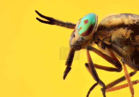 Horsefly (Chrysops relictus) macro of head with metallic eyes. Focus stacking. Extreme sharp and detailed study