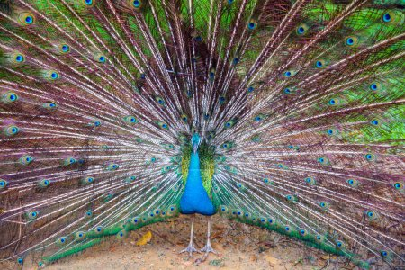beautiful peacock with big bright tail