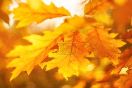 Foto de Hojas de otoño en el sol. Caída de fondo borroso. - Imagen libre de derechos