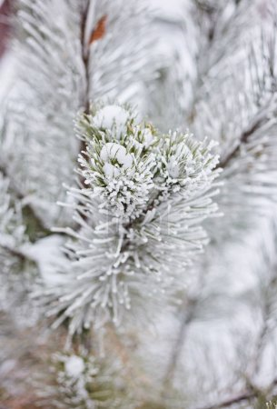 Photo for Spruce branches in the forest nature wallpaper background season autumn winter cold frost color blue outdoor natural texture beautiful landscape countryside - Royalty Free Image