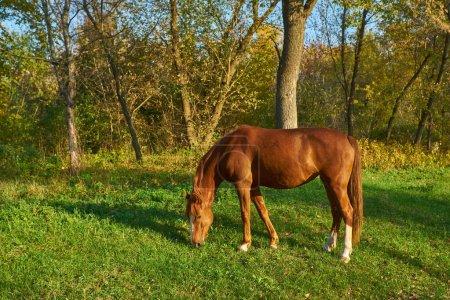 Photo pour Cheval sur l'herbe verte, paysage d'automne - image libre de droit