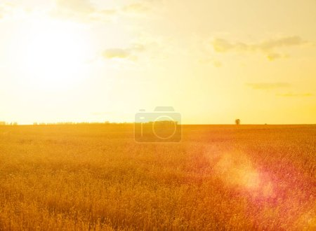 Photo for Wheat field at summer sunset - Royalty Free Image