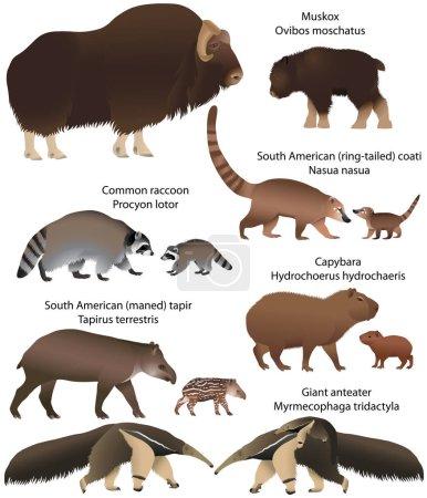 Illustration pour Collection d'animaux avec des petits vivant sur le territoire de l'Amérique du Nord et du Sud : boeuf musqué, raton laveur commun, tapir sud-américain, fourmilier géant, capybara, coati sud-américain - image libre de droit