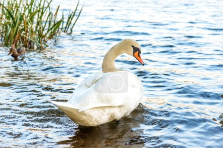 Photo pour Cygne blanc sur le lac avec de l'eau bleue - image libre de droit