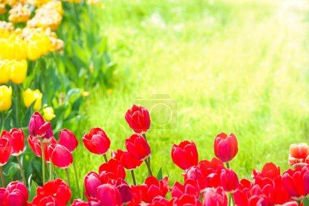 Photo pour Belles tulipes rouges et jaunes avec herbe verte sur fond - image libre de droit
