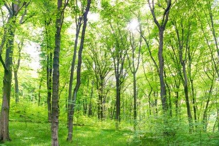Photo pour Paysage forestier vert avec arbres et lumière du soleil traversant les feuilles - image libre de droit
