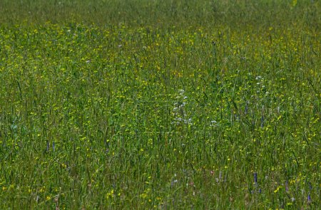 Photo for Green background of meadow grass. - Royalty Free Image