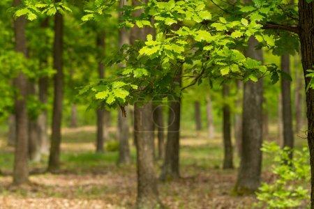 Foto de Bosque de roble verde en primavera - Imagen libre de derechos