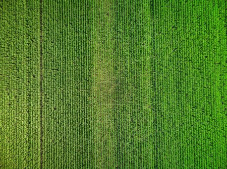 Photo for Drone picture over the maize field - Royalty Free Image
