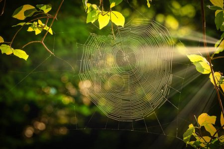 Photo for Spiderweb at sunrise light in the forest - Royalty Free Image