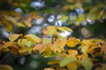 Photo for Beautiful beech tree leaves in autumn forest - Royalty Free Image