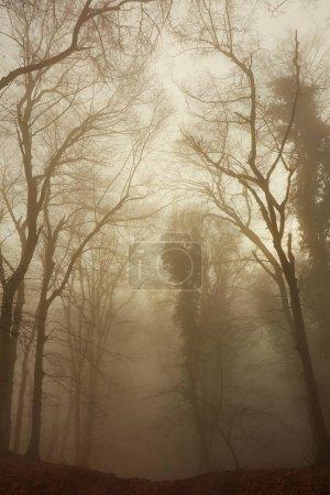 Photo pour Forêt brumeuse brumeuse à l'automne en Hongrie - image libre de droit