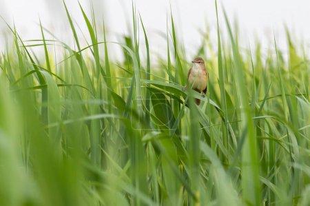 Photo pour Grande paruline roseau oiseau sur le roseau au printemps - image libre de droit