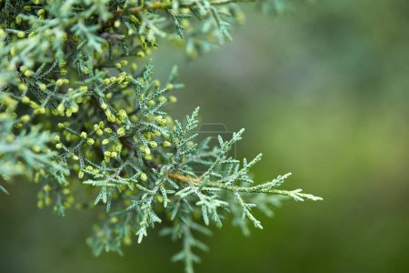 green lush branches of coniferous tree, close-up