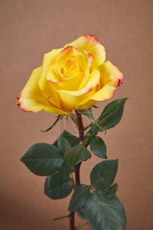 Photo pour Belle fleur rose jaune, gros plan - image libre de droit