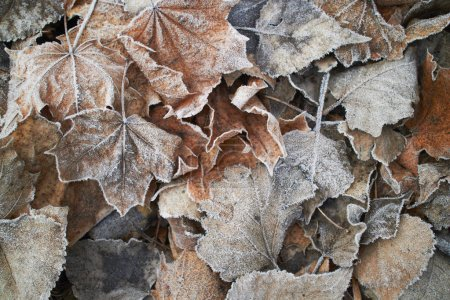 Close view of autumn leaves covered with hoarfrost