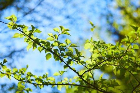 Photo pour Branches d'arbres avec feuilles vertes au jour ensoleillé, concept printemps - image libre de droit
