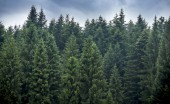 a spruce forest in the Ukrainian Carpathians