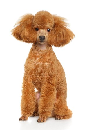 Groomed Toy Poodle posing on white background