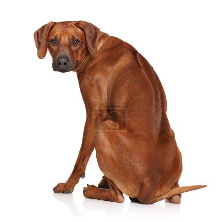 Rhodesian Ridgeback dog posing on white background