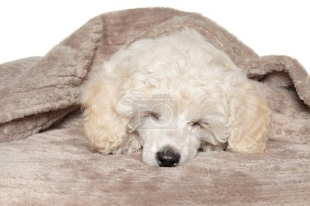 Poodle puppy sleeping under blanket on white background