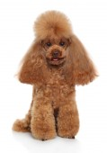 Cute Toy poodle puppy sits in front of white background. Animal themes