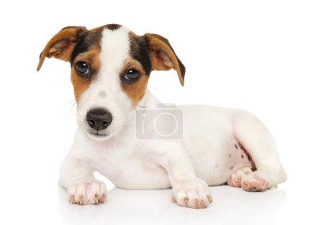 Photo pour Mignon Jack-Russel terrier couché sur un fond blanc. Thème bébé animal - image libre de droit