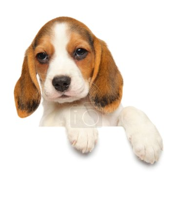 Beagle puppy above banner isolated on white background. Baby animal theme