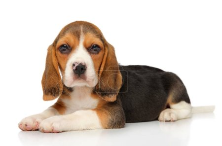 Beagle puppy lying down on white background. Baby animal theme