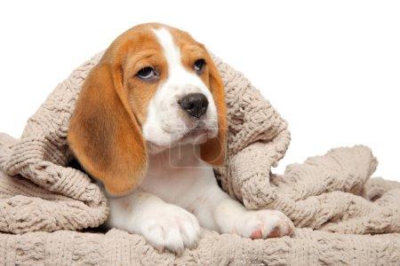 Beagle puppy under blanket on a white background
