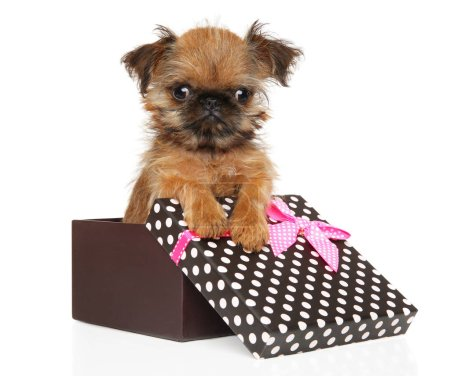 Photo for Funny Brussels Griffon puppy in a gift box, isolated on white background. The theme of baby animals - Royalty Free Image