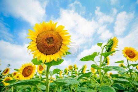 Photo pour Tournesols fleurissant dans les champs, paysage naturel estival, ciel nuageux en arrière-plan - image libre de droit