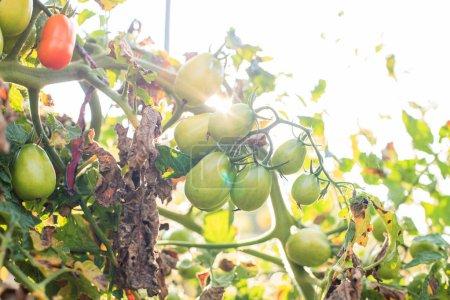 Photo pour Homegrown tomates biologiques qui poussent dans le jardin, les légumes cultivés sans OGM, des aliments sains - image libre de droit