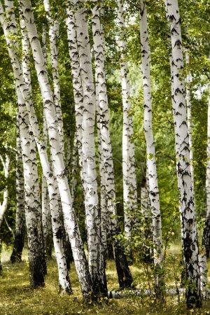 Photo pour Bouleau forêt paysage d'automne - image libre de droit