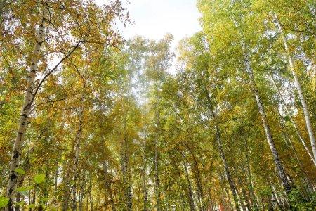 Photo pour Bouleau forêt vue vers le ciel, la nature automne - image libre de droit