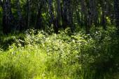 birch forest grass landscape