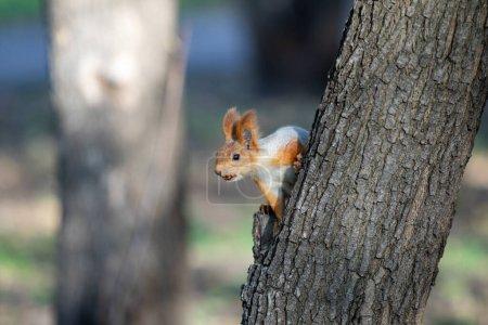 Photo pour Écureuil dans la forêt d'automne, parc . - image libre de droit
