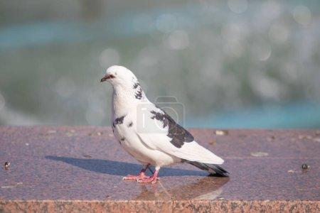 Photo pour Tourterelle sauvage assis, fond flou, nature estivale . - image libre de droit