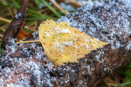 Birch leaf on the trunk of pine with snow grains