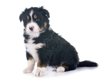Photo for Puppy  australian shepherd  in front of white background - Royalty Free Image