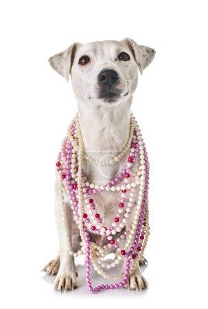 Photo pour Jack terrier russel devant fond blanc - image libre de droit