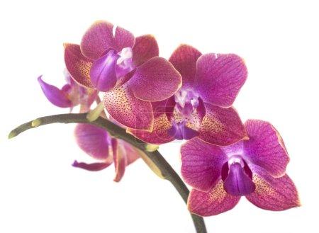 Foto de Orquídeas de polilla frente a fondo blanco - Imagen libre de derechos
