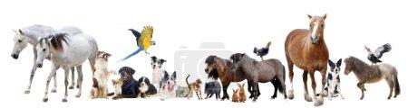 Photo pour Groupe d'animaux domestiques et d'animaux de compagnie devant fond blanc - image libre de droit