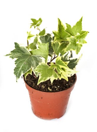 Photo for Ivy potted plant in front of white background - Royalty Free Image