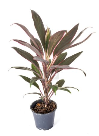 Photo for Cordyline potted plant in front of white background - Royalty Free Image