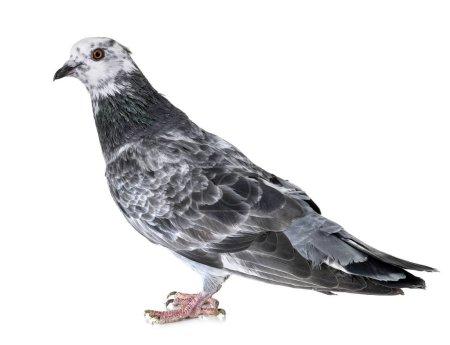 Photo pour Biset pigeon devant fond blanc - image libre de droit