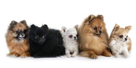 Photo pour Spitz poméraniens et chihuahuas devant fond blanc - image libre de droit