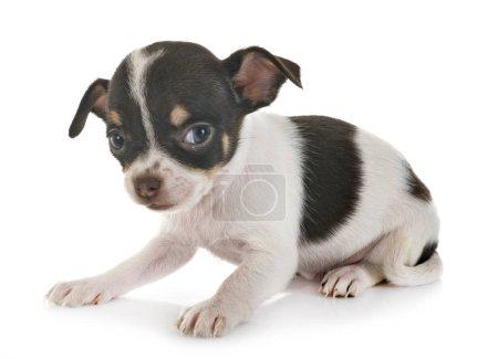 Chihuahua im Atelier