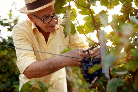 Photo for Happy man picking red wine grapes on vine in vineyard - Royalty Free Image